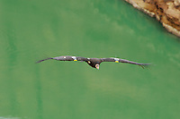 California Condor (Gymnogyps californianus) flying over Colorado River, Grand Canyon National Park, Arizona.
