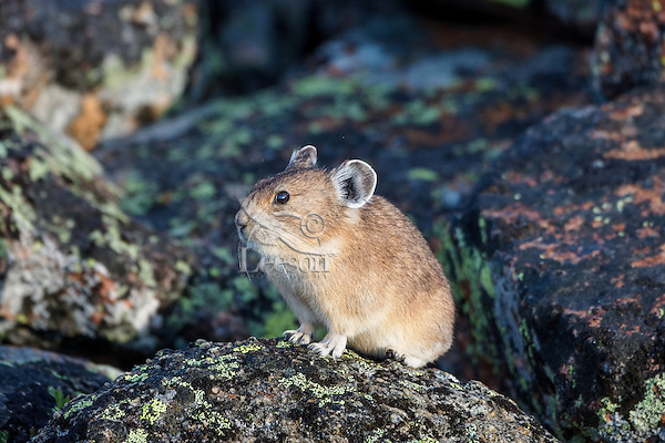 American pika (Ochotona princeps) in its boulder field home.  Beartooth Mountains, Wyoming/Montana border.  Summer.  This photo was taken in alpine setting at around 11,000 feet (3350 meters) elevation.