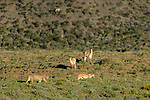 Adult male (rear) and female (front) pumas (Puma concolor) (southern subspecies Puma concolor puma) (in N. America, cougar or mountain lion) - courting / mating pair. Walking across hillside being watched by two guanacos (Lama guanicoe). Private ranch land (Estancia Amarga) on the outskirts of Torres del Paine National Park, Patagonia, Chile.