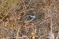 Großer Blaupfeil, Paarung, Kopula, Paarungsrad, Männchen und Weibchen, Schwarzspitzen-Blaupfeil, Orthetrum cancellatum, black-tailed skimmer