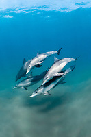 pod of Indo-Pacific bottlenose dolphins, Tursiops aduncus, Sodwana Bay, South Africa, Indian Ocean