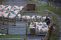 Farmer working with Rough Fell sheep, Tebay, Cumbria.