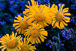 alpine sunflowers or rydbergia and chiming bells, wildflowers, summer, evening, Rocky Mountain National Park, Colorado, USA