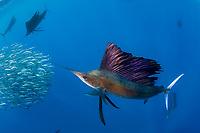 Atlantic sailfish, Istiophorus albicans, attacking bait ball of Spanish sardines (aka gilt sardine, pilchard, or round sardinella), Sardinella aurita, off Yucatan Peninsula, Mexico (Caribbean Sea)