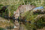 Mountain Lion (Puma concolor) male drinking, Torres del Paine National Park, Patagonia, Chile