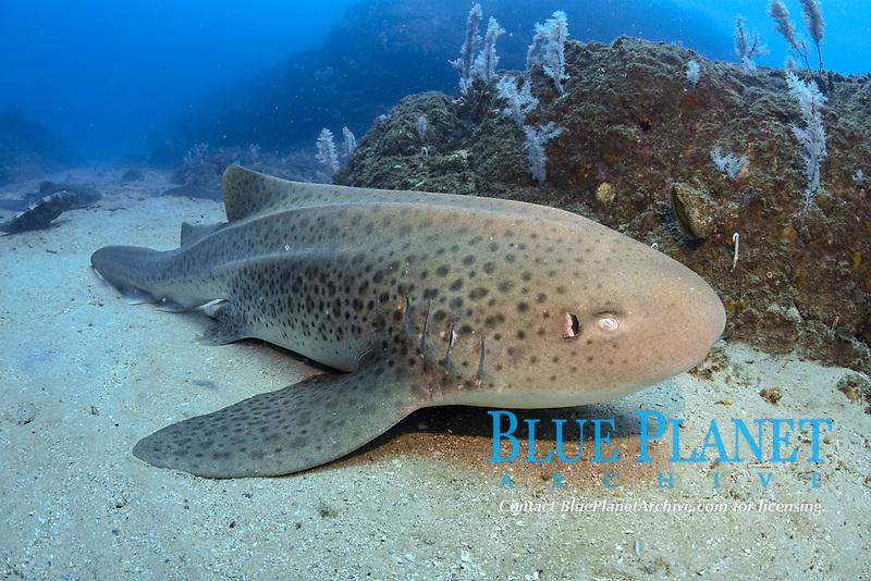 Leopard Shark or Zebra Shark, Stegostoma fasciatum, Wolf Rock, Rainbow Beach, Queensland, Australia, South Pacific Ocean