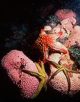 Starfish found in the Sea of Cortez