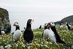 Atlantic Puffin (Fratercula arctica) head-flicking in coastal breeding colony, Skomer Island National Nature Reserve, Skomer Island, Pembrokeshire, Wales, United Kingdom