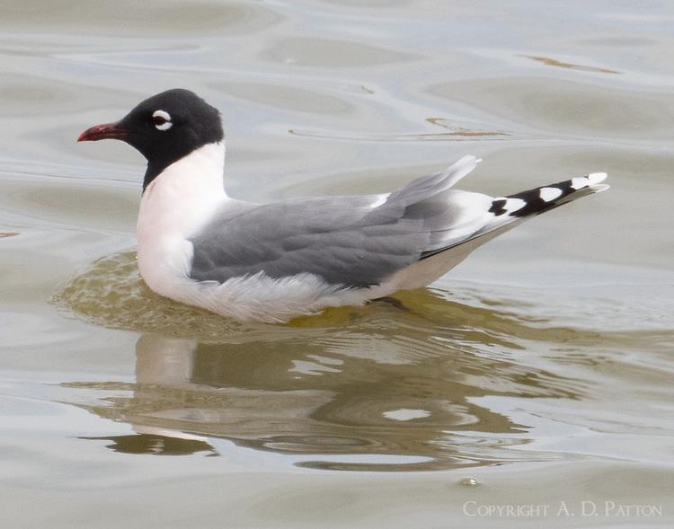 Adult Franklin's gull in breeding plumage