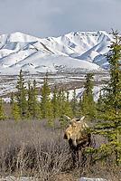 American Moose (Alces alces americanus) adult female, in taiga habitat, Denali National Park, Alaska, USA, North America