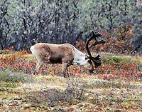 Caribou bull grazing in June