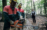 GERMANY, forestry, oak timber harvest / DEUTSCHLAND, Staatsforst bei Trittau, Forstwirtschaft, Holzernte, Forstarbeiter fällen Eichen mit Husqvarna Motorsäge