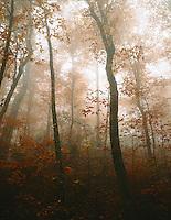 Autumn beech forest, Crabtree Meadows