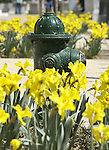 Green Fire hydrant surrounded by yellow daffodils, Washington DC, fire hydrant, yellow daffodils, Politics in the United States, Presidential, Federal Republic, united States Congress, Fine Art Photography by Ron Bennett, Fine Art, Fine Art photo, Art Photography,