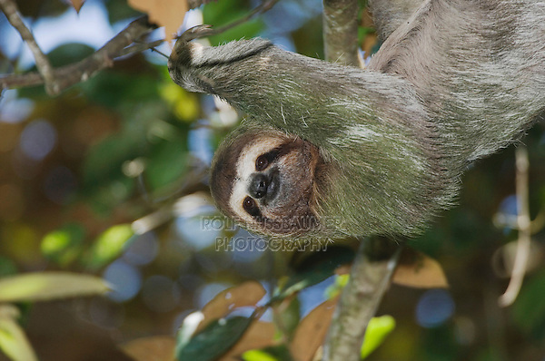 Brown-throated Three-toed Sloth, Bradypus variegatus , male, Manuel Antonio National Park, Central Pacific Coast, Costa Rica, Central America, December 2006