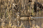 Wood Duck - Hen