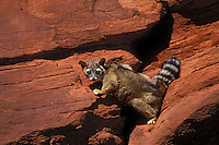 RINGTAIL. Den is often found in cliffs, between or under rocks..Canyonlands NP, Utah..(Bassariscus astutus).