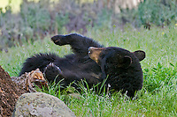 Wild, adult, Black Bear (Ursus americanus) resting.  Western U.S., spring.