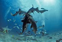 Nurse Shark, Ginglymostoma cirratum, feeding on bait with schooling sharks and reef fish, Bahamas, Caribbean Sea.