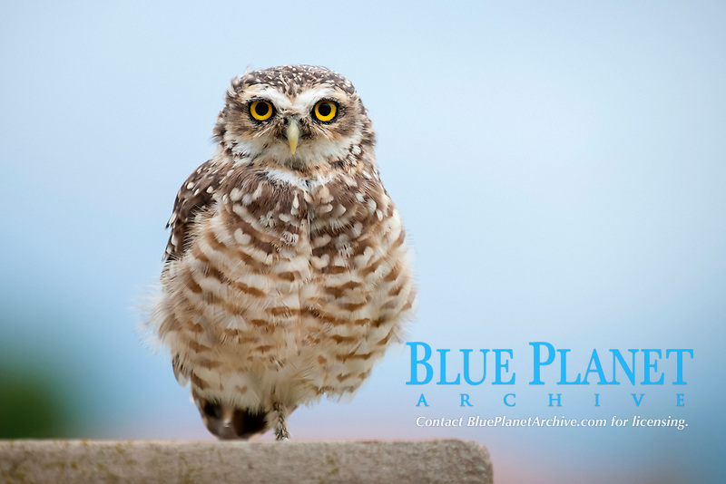bird, burrowing owl, Athene cunicularia, Punta Norte, Peninsula Valdes, Chubut, Argentina