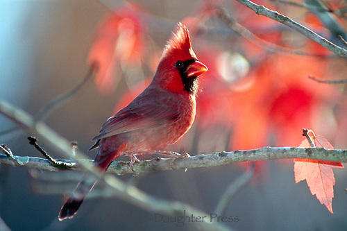 Juvenille male northern cardinal, Cardinalis cardinalis, perched on tree with sun filtering through red and orange leaves in the waning afternoon light, a gorgeous detail