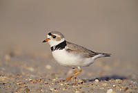 Piping Plover (Charadrius melodus), adult walking, Nebraska, USA