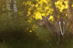 White-tailed doe in the early evening light.