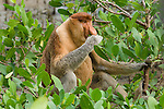 Adult male Proboscis Monkey (Nasalis larvatus) feeding at low tide on mangrove leaves. Bako National Park, Sarawak, Borneo.