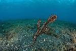 Harlequin or ornate ghost pipefish (Solenostomus paradoxus)