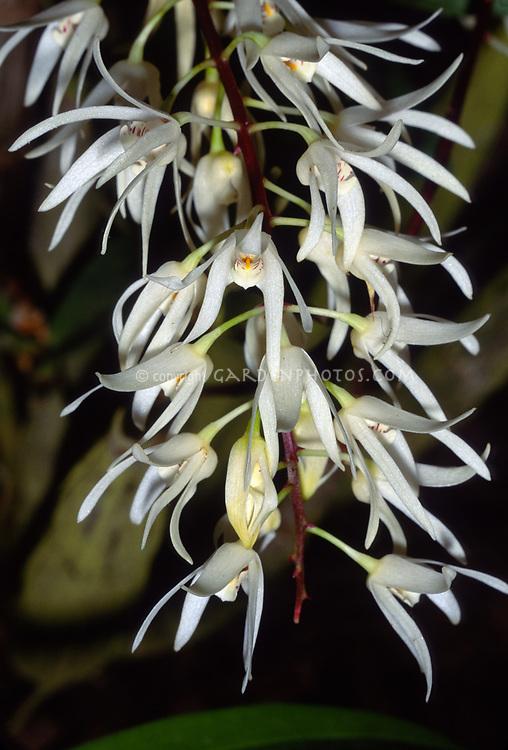 Dendrobium jonesii, Jones' Dendrobium, endemic to Queensland, Australia, aka Dendrobium ruppianum