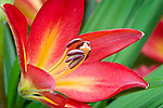Vashon Island, WA<br /> Cultivated Asiatic lilly
