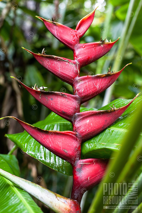 Red heliconia at the Harold L. Lyon Arboretum and Botanical Garden, Honolulu, O'ahu.