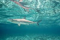 Atlantic sharpnose shark, Rhizoprionodon terraenovae, or Caribbean sharpnose shark, Rhizoprionodon porosus, max 2-3 feet long, harmless, Bimini, Bahamas, Atlantic Ocean