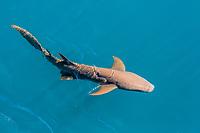 tawny nurse shark, Nebrius ferrugineus, swimming in Talbot Bay, Kimberley, Western Australia, Australia, Indian Ocean