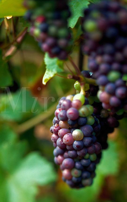 Ripe purple grapes on vine