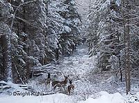 MA11-500z White-tailed Deer in winter, Odocoileus virginianus