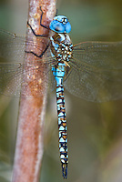 339360046 a wild male blue-eyed darner rhionaeschna multicolor perches on a bush along a canal off jean leblanc road near bishop inyo county california united states