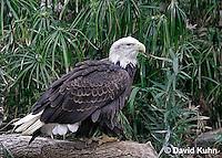 0115-08mm  Bald Eagle - Haliaeetus leucocephalus © David Kuhn/Dwight Kuhn Photography