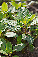 Indisches Springkraut, Drüsiges Springkraut, Blatt, Blätter, Jungpflanze, Impatiens glandulifera, Himalayan Balsam, Policeman`s Helmet