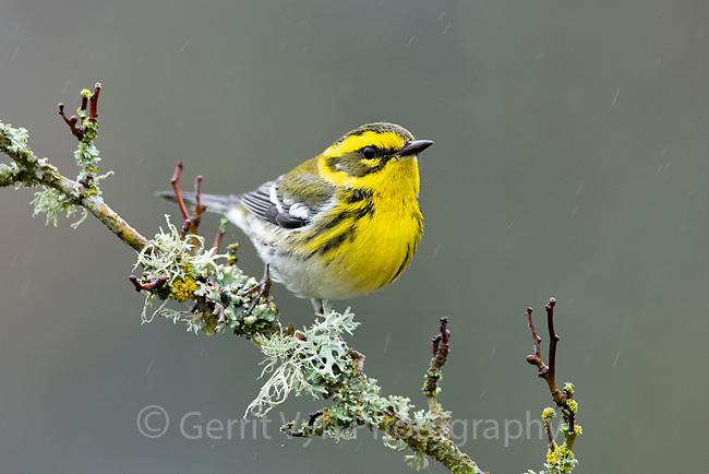 Female Townsend's Warbler (Setophaga townsendi). Washington County, Oregon. November.
