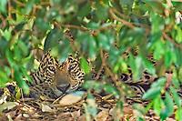 Jaguar (Panthera onca) in the bush, Pantanal, Brazil, South America
