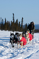Ray Redington Jr. on the trail just before the Cripple checkpoint 1/2 way into the race during the 2010 Iditarod