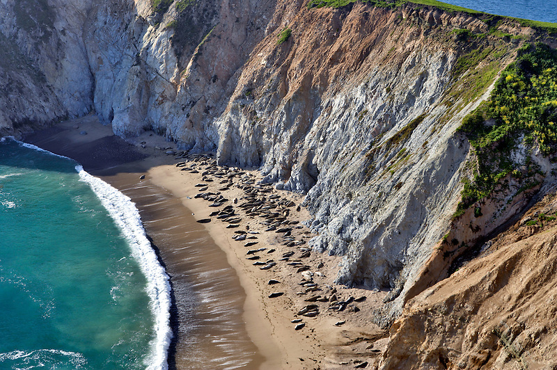 Sea Elephants in cove at Chimney Rock. Point Reyes National Seashore. California