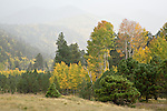 Quaking aspen (Populus tremuloides) and evergreens in foggy Lockett Meadow in autumn