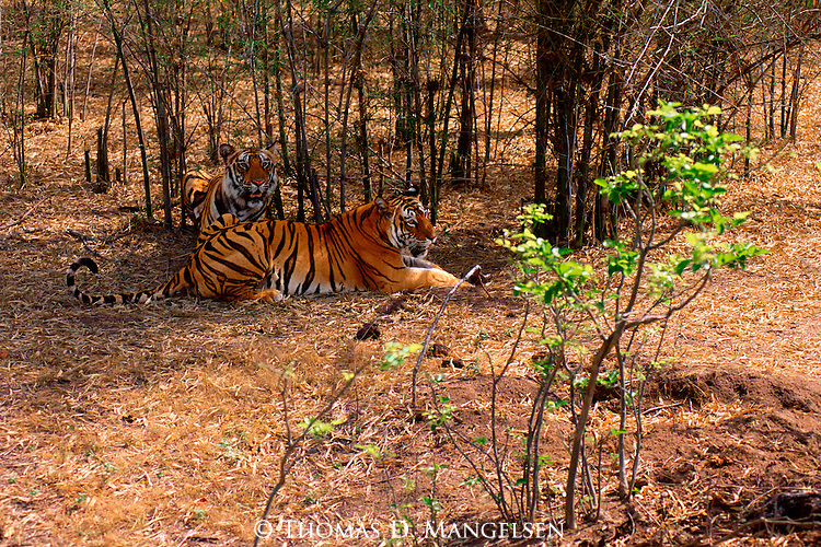 A bengal tiger and her male cub rest in the shade of the bamboo after a meal of spotted deer in Bandhavgarh National Park, Madhya Pradesh, India.