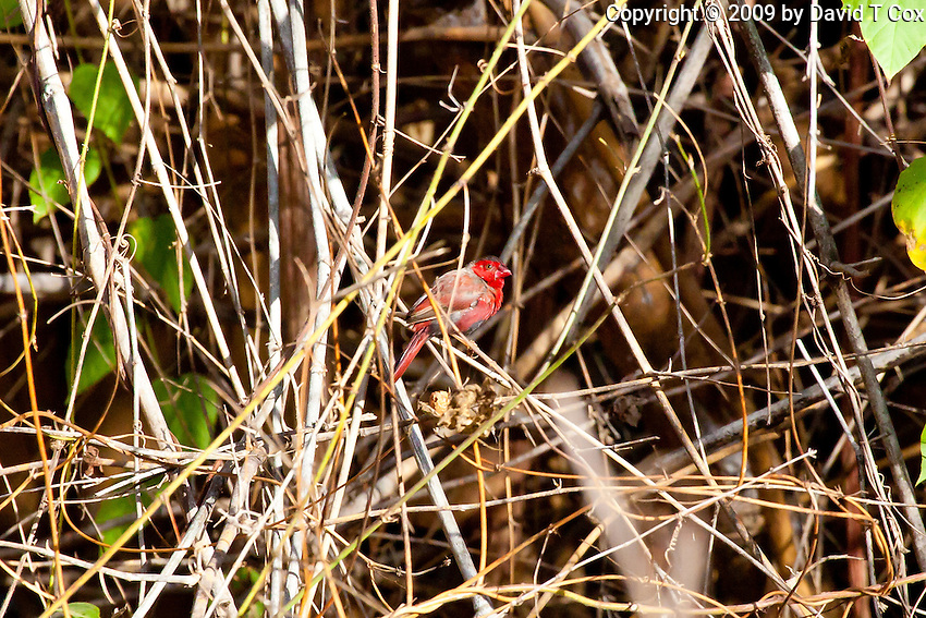 Crimson Finch, Mary River, Kakadu NP, NT, Australia