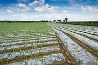 Forage maize drilled under polythene - June, Lincolnshire