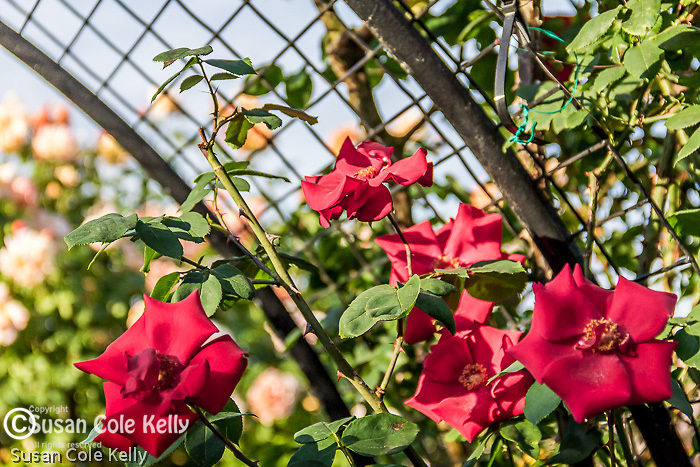 Eureka Roses in the James P. Kelleher Rose Garden, Boston, Massachusetts, USA