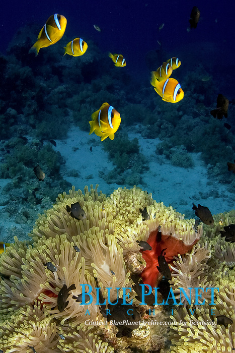 Red Sea Clownfish (Amphiprion bicinctus) protect their Anemone in the Red Sea, Egypt., Northern Africa