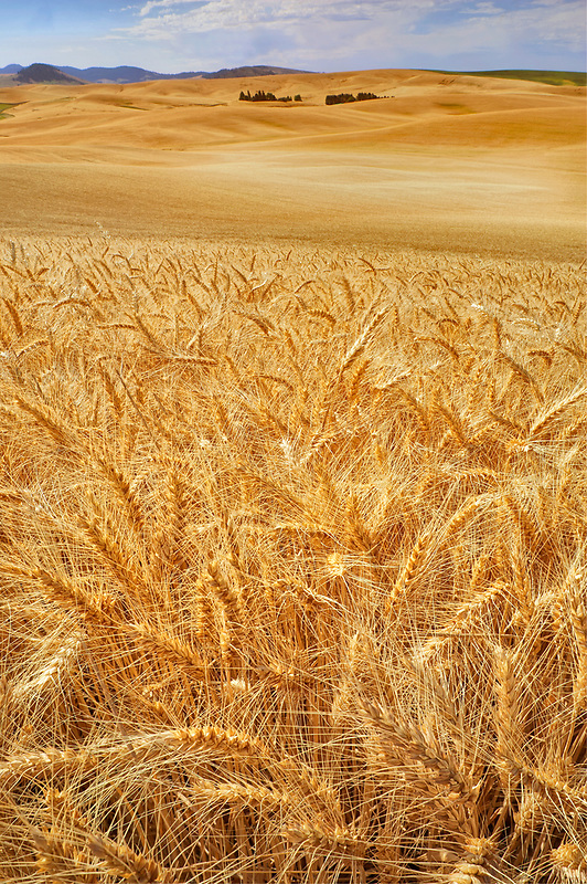 Wheat field. The Palouse. Washington